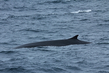 Fin whale (Balaenoptera physalus) at surface, Svalbard, Norway, taken on location for 'Polar Bear : Spy on the Ice' August 2010