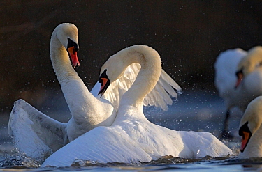 Mute swans (Cygnus olor) fighting over territory in spring, Oslo, Norway, April.