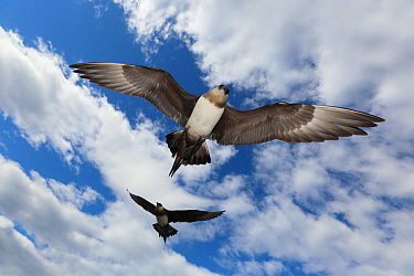 Arctic skuas (Stercorarius parasiticus) in flight, mobbing to protect nest, Svalbard, Norway, July.