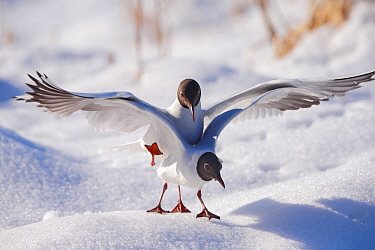 Black-headed gulls (Larus ridibundus) mating pair, Oslo, Norway, March.
