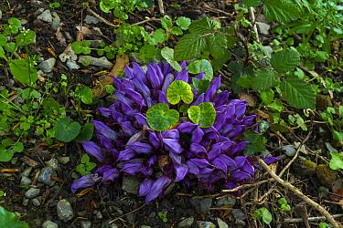 Purple toothwort (Lathraea clandestina) Liendo, Cantabria, Spain, April 2016.