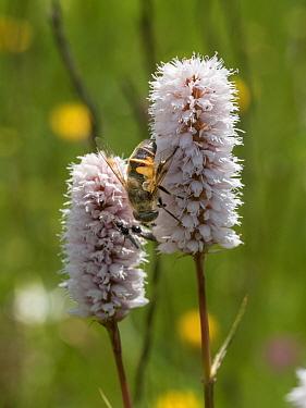 Bistort (Persicaria  bistortum) flower with hoverfly, Piano Grande, Sibillini, Umbria. June.