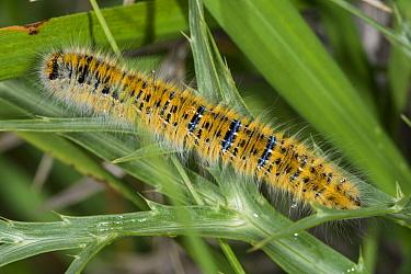 Lackey moth caterpillar (Malacosoma neustria) Castellucio di Norcia, Umbria. Italy