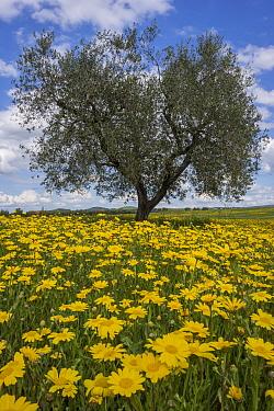Corn marigolds (Chrysanthemum segetum) flowers in olive grove near Pitigliano, Tuscany, Italy, April.