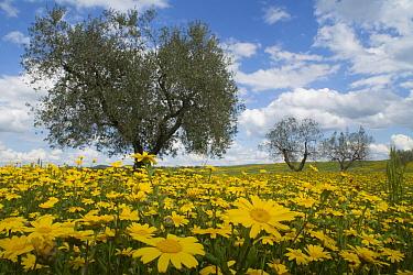Corn marigolds (Chrysanthemum segetum)  flowering in olive grove near Pitigliano, Tuscany, Italy, April.