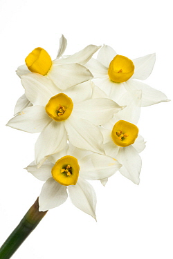 Bunch-flowered narcissus (Narcissus tazetta) Gargano, Italy. March.