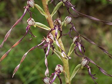 Adriatic lizard orchid (Himantoglosum adriaticum)  flowers, Sibillini, Italy. June.