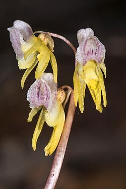 Ghost Orchid (Epipogium aphyllum)  Mount Sirente, near L'Aquila, Abruzzo. Italy. July 2013.
