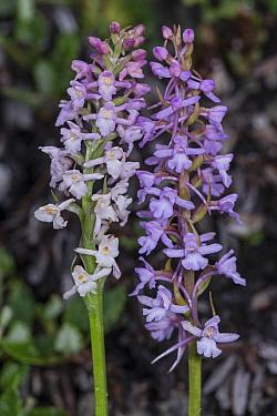 Fragrant orchid species comparison: Gymndenia odoratissima (left) and G. conopsea (right) growing at 2200m Passo di Valparola, near Cortina, Dolomites. July 2016