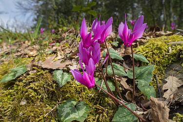 Spring cyclamen (Cyclamen repandum) . Mount Pegial, Umbria, Italy