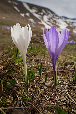 Spring Crocus (Crocus vernus) on the Campo Imperatore, Abruzzo, Italy. April.