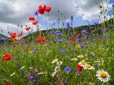Poppies (Papaver rhoeas), cornflowers (Centaurea cyanus) and chamomile (Anthemis arvensis) near Castellucio di Norcia, Umbria, Italy. July.