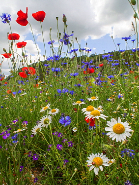 Poppies (Papaver rhoeas), Cornflowers (Centaurea cyanus) and Chamomile (Anthemis arvensis) near Castellucio di Norcia, Umbria, Italy, July.