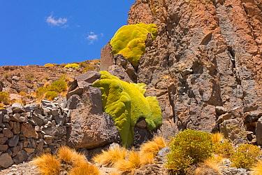 Giant cushion plants (Azorella compacta). Bolivia.