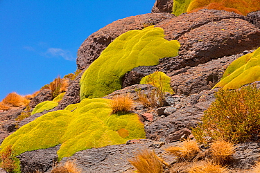 Giant cushion plants (Azorella compacta). Bolivia, December.