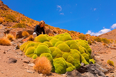Woman looking at Giant cushion plant (Azorella compacta). Bolivia.