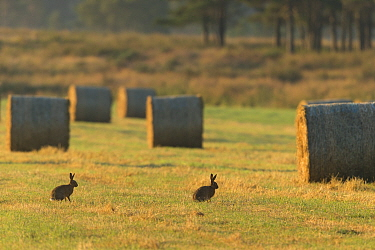 Two Brown hares (Lepus capensis) in arable field with hay bales after harvest, Scotland, UK, July.