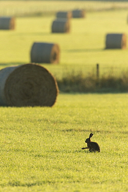Brown hare (Lepus capensis) in arable farmland with hay bales in background, Scotland, UK, July.