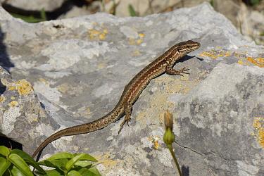 Common wall lizard (Podarcis muralis) basking on a limestone rock, Asturias, Spain, August.