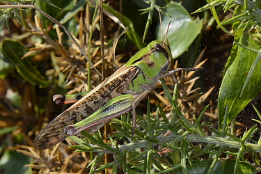 Migratory locust (Locusta migratoria) well camouflaged among coastal vegetation, Asturias, Spain, August.