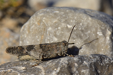 Blue-winged grasshopper (Oedipoda caerulescens) well camouflaged while sunning on a limestone boulder, Picos de Europa mountains, Asturias, Spain, August.