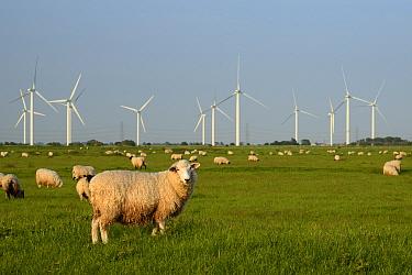 Domestic sheep (Ovis aries) grazing Romney Marshes near Little Cheyne Court wind farm, Rye, Sussex, UK, June.