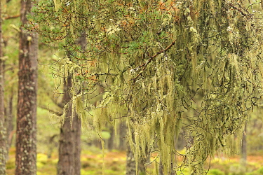 Lichens hanging from branches of Scots pine (Pinus sylvestris) tree, Abernethy, Cairngorms National Park, Scotland, UK, September.