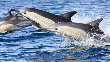 Indo-Pacific common dolphins (Delphinus delphis tropicalis) swimming at speed. South Africa, Indian Ocean.