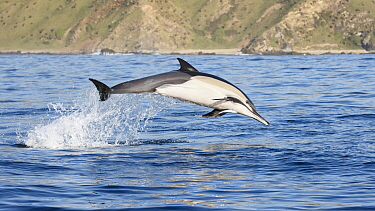 Indo-Pacific common dolphin (Delphinus delphis tropicalis) porpoising while feeding on a sardine baitball. South Africa, Indian Ocean.