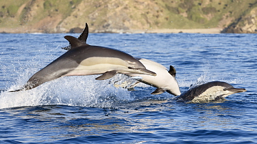 Indo-pacific common dolphins (Delphinus delphis tropicalis) in coordinated attack on baitball. South Africa, Indian Ocean.