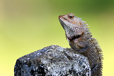 Changeable lizard (Calotes versicolor) on a rock, Sri Lanka.