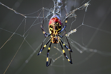 Joro spider (Nephilia clavata) female a type of golden silk orb-weaver spider common in Japan during the autumn. With the spider's chelicerae, or jaws, clearly visible. These deliver a neurotoxin simi...
