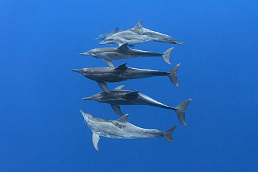Rough-toothed dolphins (Steno bredanensis) small group swimming at depth. Vava'u, Tonga, South Pacific.