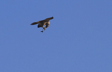Peregrine falcon (Falco peregrinus) carrying White tipped flying fish (Cheilopogon xenopterus) taken fifteen miles off the Pacific coast of Nicaragua.