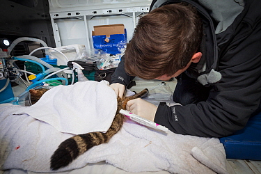Veterinarian from The Royal Zoological Society Scotland / RZSS using a catheter to collect semen for genetic testing from a sedated Scottish wildcat (Felis silvestris grampia). Inside RZSS mobile vet...