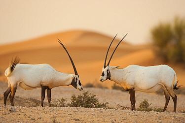 Two Arabian oryx (Oryx leucoryx) in the desert, Dubai, UAE, November.