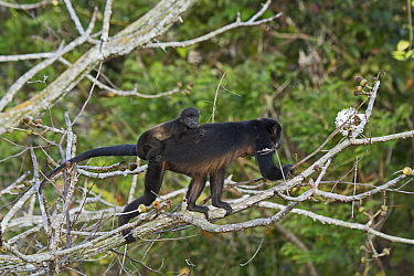 Mantled howler (Alouatta palliata) female with baby, seen from canopy tower, Soberiana NP,  Panama.