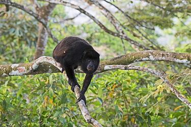 Mantled howler (Alouatta palliata) seen from canopy tower, Soberiana NP,  Panama.