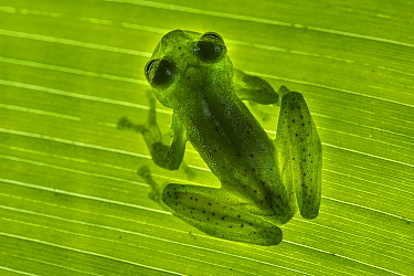 Emerald Glass Frog (Centrolenella proseblepan) on leaf. Mid-altitude rainforest, Bosque de Paz, Pacific slope, Costa Rica, Central America.