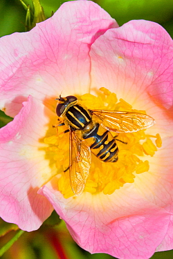 Hoverfly/Sun Fly (Helophilus pendulus) feeding on dog rose Lewisham, London, England, UK, June.