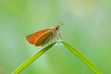 Small skipper butterfly (Thymelicus sylvestris) Aosta Valley, Gran Paradiso National Park, Italy.