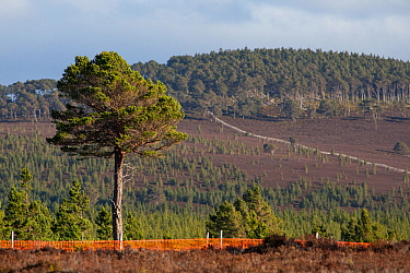 Scots pine (Pinus sylvestris) tree growing outside of deer fence marked with anti-collision tape for grouse, Kinveachy, Carrbridge, Cairngorms National Park, Scotland, June