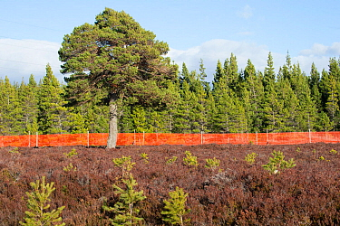 Scots pine (Pinus sylvestris), mature tree and saplings growing outside of deer fence marked with anti-collision tape for grouse, Kinveachy, Carrbridge, Cairngorms National Park, Scotland, June