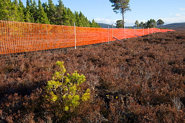 Scots pine (Pinus sylvestris) sapling growing outside of deer fence marked with anti-collision tape for grouse, Kinveachy, Carrbridge, Cairngorms National Park, Scotland, June