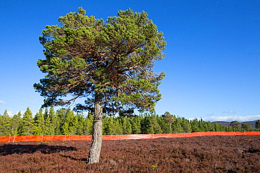 Scots pine (Pinus sylvestris) growing outside of deer fence marked with anti-collision tape for grouse, Kinveachy, Carrbridge, Cairngorms National Park, Scotland, March