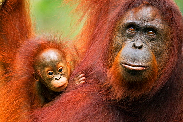 Bornean Orangutan (Pongo pygmaeus wurmbii) female 'Tata' and her unnamed baby aged 2-3 months portrait. Camp Leakey, Tanjung Puting National Park, Central Kalimantan, Borneo, Indonesia. June 2010. Reh...