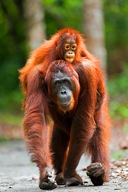 Bornean Orangutan (Pongo pygmaeus wurmbii) female 'Princess' walking along a trail carrying her daughter 'Putri' aged 2 years on her back. Camp Leakey, Tanjung Puting National Park, Central Kalimantan...