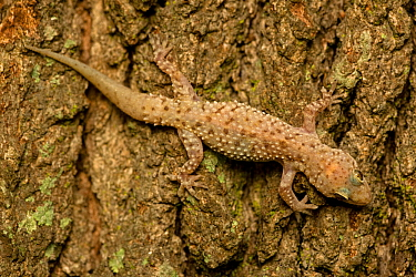 Mediterrranean Gecko (Hemidactylus turcicus) showing a regenerated tail. Old World native introduced to New Orleans in the 1940's by stowing-away on trade ships. Louisana, USA, April.