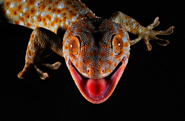 Tokay gecko (Gekko gecko) close up portrait of head with black background, Guangxi Province, China.