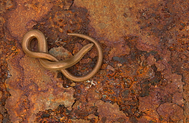Slow Worm (Anguis fragilis) basking on rusty metal. Leicestershire, UK, March.